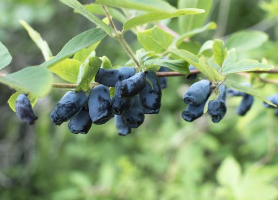 Polscy plantatorzy zyskują na uprawie jagody kamczackiej
