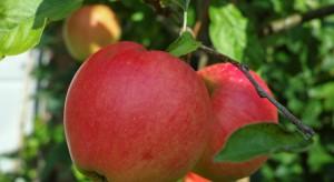 Przekroczyli nielegalnie granicę, by spróbować rosyjskich jabłek