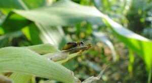 Stonka kukurydziana również w uprawach warzyw dyniowatych