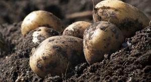 Będą problemy z przechowywaniem bulw ziemniaka w tym sezonie