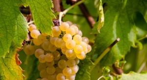 Copa-Cogeca: Wyjątkowo niskie plony winorośli w UE