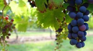 Lubuskie: Pogoda i aktywność szpaków determinują zbiory winogron