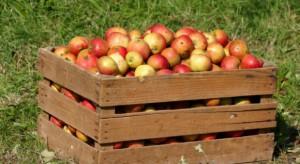 """KUPS: Obecne ceny jabłek są """"ryzykowne"""" dla przetwórców"""