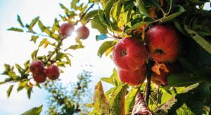Małopolskie:  Jabłek jest mniej, ale sadowników to nie martwi
