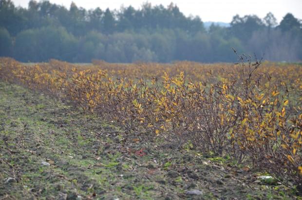 Blue Haskap: Szukaliśmy alternatywy dla jabłoni. Postawiliśmy na jagodę kamczacką! (zdjęcia)