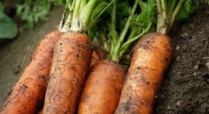 Świętokrzyskie: Rolnicy coraz częściej przechodzą z uprawy zbóż na warzywa