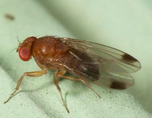 Zwiększa się zasięg i liczebność występowania Drosophila suzukii