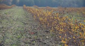 Ile kosztuje założenie plantacji jagody kamczackiej?