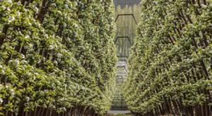 Jabłonie jak winorośle - innowacyjna metoda uprawy rodem z USA