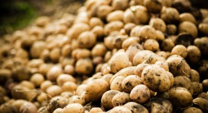 Od trzech lat rośnie rentowność produkcji ziemniaka w Polsce