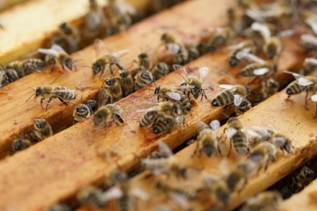 USA: W wypadku zginęły pszczoły za ponad milion dolarów