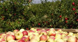 Wielka Brytania: Przez brak pracowników nie udało się zakończyć zbiorów jabłek