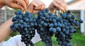 Polska jednym z największych odbiorców mołdawskich winogron w UE