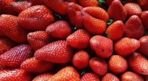Japonia rozważa uprawę truskawek na Kurylach we współpracy z Rosją