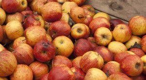 Mazowsze: Jabłka przemysłowe skupowane są za 60-85 gr/kg