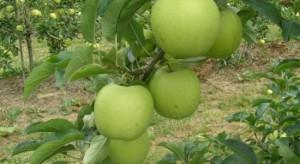 SGGW: Za 3-4 lata na rynku pojawią się jabłka nowej odmiany 'Chopin'