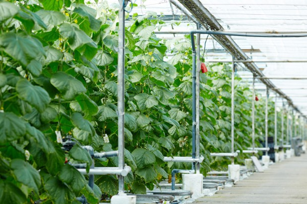 Doświetlanie LED-owe w produkcji szklarniowej roślin warzywnych