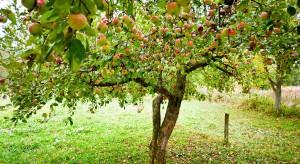 Konkurs Drzewo Roku: Wśród zgłoszeń także drzewa owocowe