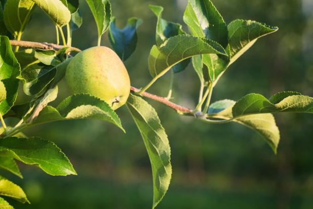Nowy fungicyd w ochronie sadów od Innvigo