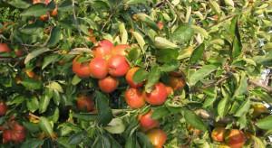 Raport KE: Konsumpcja świeżych jabłek i produkcja ustabilizują się do 2030 r.