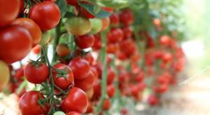 Skonstruowano robota do zbioru pomidorów (wideo)