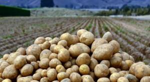 Wielka Brytania: Na farmach ziemniaków brakuje polskich pracowników