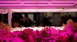 Brytyjski producent sałaty i ziół stawia na doświetlanie LED-owe upraw