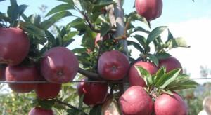 Nowe i perspektywiczne odmiany jabłoni na rynki zagraniczne