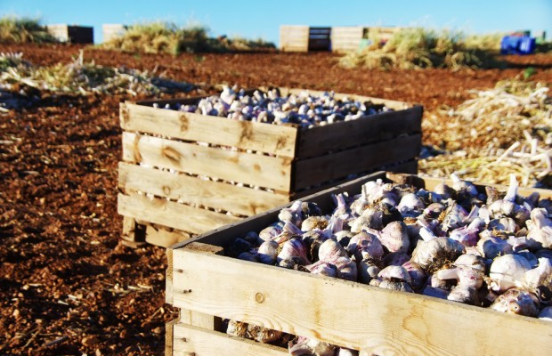 Uprawy czosnku oparte na zdrowym materiale rozmnożeniowym