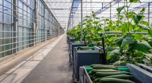 Wielka Brytania spodziewa się 10 proc. wzrostu produkcji ogórków