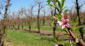 We włoskiej Apulii zakwitły brzoskwinie