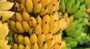 Choroba panamska atakuje bananowce odmiany Cavendish