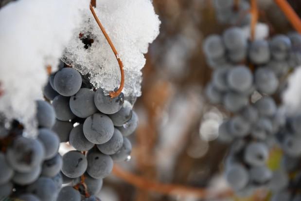 Zachodniopomorskie: Rozpoczęto zimowe winobranie w Baniewicach