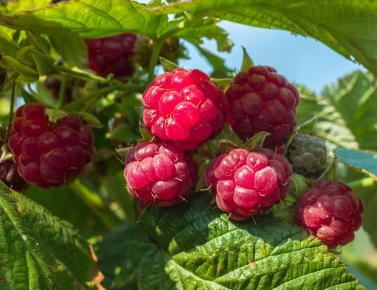 Rola składników pokarmowych w nawożeniu malin