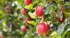 WAPA: Zbiory jabłek na półkuli południowej na poziomie z ubiegłego sezonu