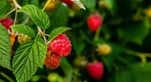 Ochrona malin przed chorobami: szara pleśń