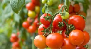 Pomidory bogate w karotenoidy przy mniejszym zużyciu wody