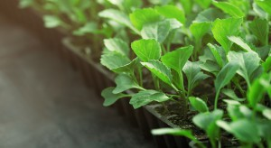 Produkcja rozsady – jak zapewnić dobry start kapuście?