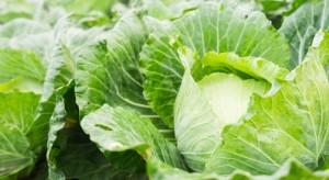 Wielka Brytania: Naukowcy pracują nad robotem do zbioru warzyw kapustnych