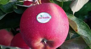 Holandia: Odmiana jabłek Maribelle zyskuje na popularności