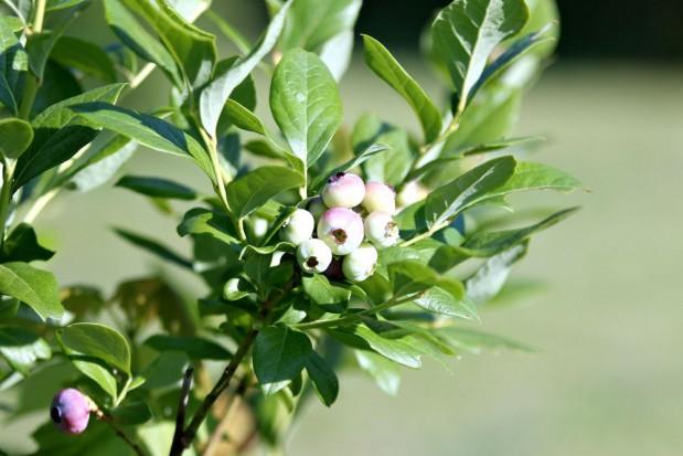 Silne mrozy a krzewy borówki: Bez strat się raczej nie obejdzie