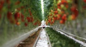 Białostoczanin stworzył robota, który monitoruje jakość pomidorów w szklarni