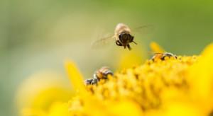 Obce pszczoły zagrażają przetrwaniu roślin?