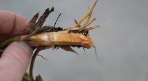 Przezimowanie truskawek: plantatorzy sygnalizują uszkodzenia szyjki korzeniowej