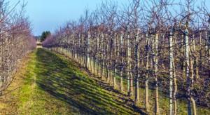 Warto stosować preparaty krzemowe w uprawie jabłoni