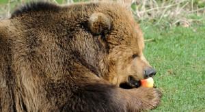 Bieszczady: Leśnicy sadzą drzewa owocowe, aby zatrzymać niedźwiedzie w lesie