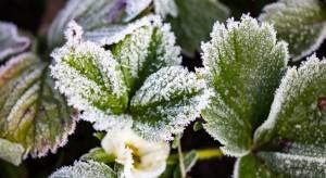 Łódzkie: Producenci truskawek liczą straty po fali mrozów