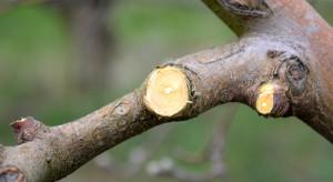 Uwaga na zagrożenie rakiem drzew owocowych