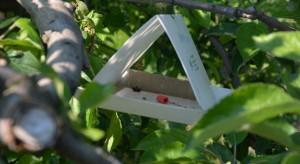 Szkodniki w sadzie: Owocówka jabłkóweczka – zwiększone zagrożenie w ostatnich latach