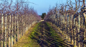 Jabłonie i grusze – regulacja wzrostu